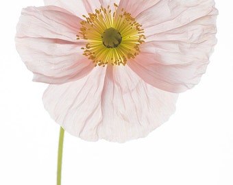 Flower Photography - Poppy Botanical Photograph, Floral Still Life Photography, Large Wall Art, Home Decor