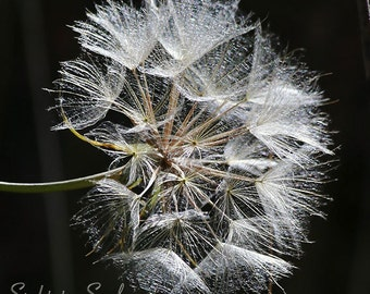 Wish Flower Photography, nature art, black and white flower photo, wildflower photography, fine art print