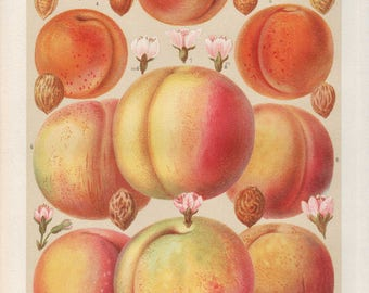 Chromolitographie peaches and apricots