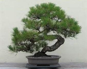 5 Japanese Black Pine Tree seeds -1144