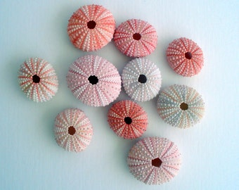 Pink Sea Urchin Bulk Packs Wholesale