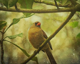 Nature Photography - Mrs. Cardinal - 10 x 14 fine art print - bird olive green gold tree spring woodland wall art home decor