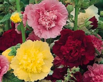 Hollyhock Seeds Majorette Mix, Perennial Flower, 10 Seeds