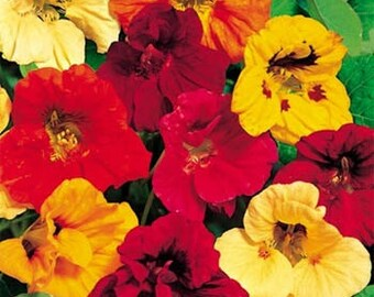 Nasturtium Seeds, Tropaeolum Majus Jewel Mix, Annual Flower, Fabulous Color