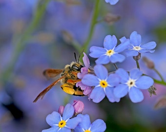 Bee Print, Bee Decor, Forget Me Not Flower, Bumble Bee, Bee Art, Insect Print, Honeybee, Bumblebee, Insect Art, Nature Photography
