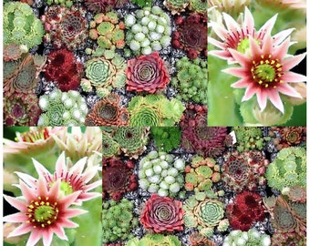 Hen & Chicks Cactus Mixed Seeds - Sempervivum - HARDY PERENNIAL - GORGEOUS House Leeks Seed - Zones 5 - 9, Choose From 50 or 1,000