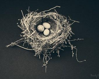 bird nest, nature, eggs fine art photography