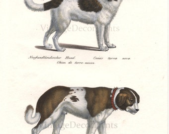 RESERVED for Charlotte. Please do not buy. This is not for sale. Newfoundland Dog and St Bernard, Antique Print  Date 1827  J.R