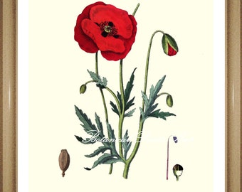 Poppy Print. #1 Botanical Print. Antique Flower Print, Poppies.  8x10""