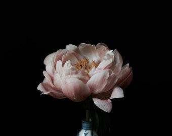 Still life of a Peony in a Chinese Vase against black
