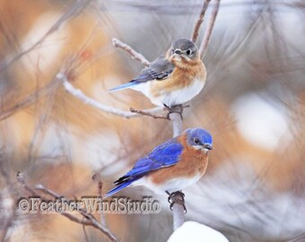 Eastern Bluebirds Photo | Blue Rust White Bird Art | Soothing Earth Tones Nature Decor | Interior Design Idea | Winter Birds Thrushes Print