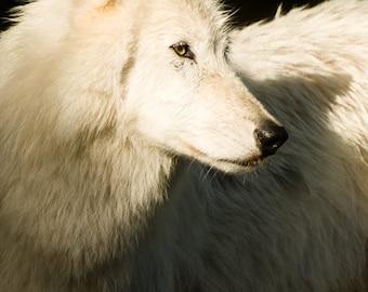 Wolf Wall Art - Wildlife Photography - Wild Animal Home Decor - Arctic Wolf - Color Fine Art Photography