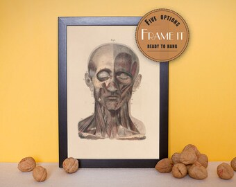 """Vintage illustration of Muscles of the Face - framed fine art print, art of anatomy, 8""""x10"""" ; 11""""x14"""", FREE SHIPPING - 186"""