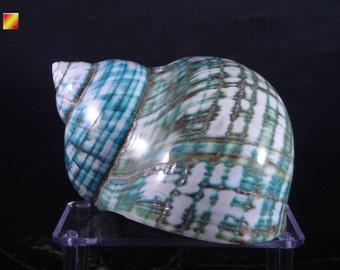 "Large Polished Jade Turbo Shell (3"") Seashell Hermit Crab Beach Craft Nautical Decor"