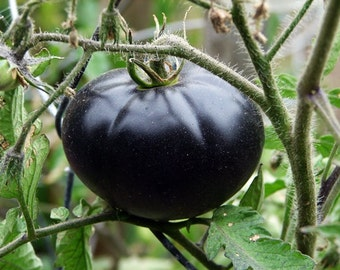 Black Beauty Tomato Garden Seeds Gourmet Non-GMO 20+ Seeds Extreme Anthocyanin Antioxidant Naturally Grown Open Pollinated