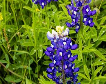 Three Beauties- Bluebonnets, Flowers, Nature, Spring, Texas, Wildflowers