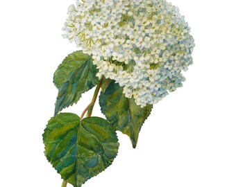 Hydrangea Botanical Print Watercolor Floral Illustration Wall Art by Janet Zeh
