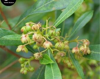Buy Dodonaeae Viscosae Seeds Plant Clammy Hopseedbush For Che Sang Zi