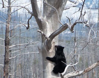 Black Bear Dens in Cottonwood Tree, Mamma Bear, Hibernation, Bear Tree, Montana Photograph or Greeting card