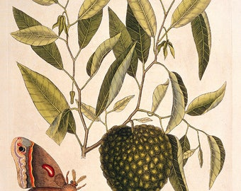 Mark Catesby: Carolina Moth with Fruit Resembling Custard Apple. Fine Art Print/Poster. (004750)