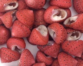"Seashells - 5 Strawberry Top Shells 3/4"" Natural Shells for Crafting or Decorating"