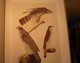 Three Hawks Audubon print - framable print -  bird print, 8 by 10 inch , retro aviary print only or matted print