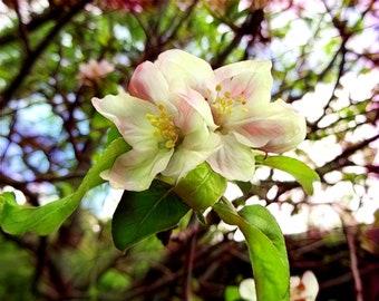 RoseMary's Apple Blossoms #2, 8x10 Photo Print, Digitally Enhanced