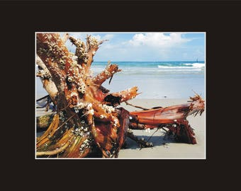 Barnacle Tree washed up Beach Photographic Print matted in black North Carolina
