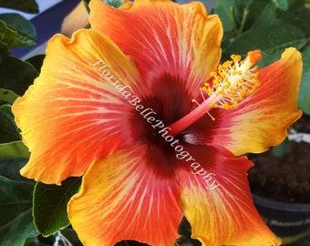 Hawaiian hibiscus closeup