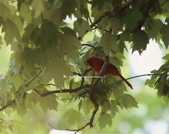 Cardinal Photo, Red Bird Photography, Male Cardinal Picture, Nature Bird Print, Bird Lover, Green Home Decor, Home Decor Wall Art