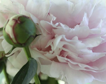 Photo Print - Pink Peony, Macro Photography, Soft Pink, Shabby Chic