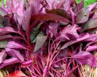 SALE! Garnet Red Amaranth Seeds