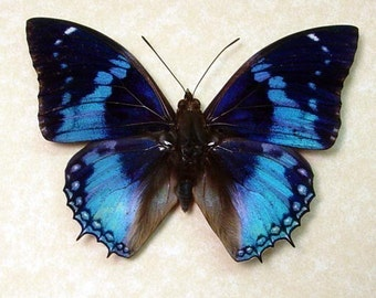 Dad's & Grad's Gift Best Seller For 13 Years Real Blue Butterfly Display 202