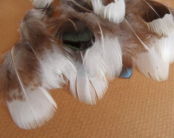 soft feathers (6) cream and taupe... from lady amherst Pheasant.
