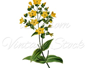 Yellow Flowers Botanical Print, Clip Art, PNG Digital Image, Vintage Image for print, digital artwork  INSTANT DOWNLOAD- 1571