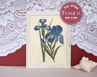 """Vintage illustration of Irises - framed fine art print, flower art, home decor 8""""x10"""" ; 11""""x14"""", FREE SHIPPING - 134"""