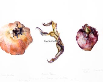 Pomegranate, Berlotti bean and Hyacinth bulb Botanical Drawing