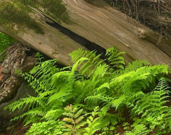 Tree and Fern, Big Sur