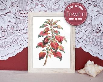"Vintage illustration of Coleus - framed fine art print, flower art, home decor 8""x10"" ; 11""x14"", FREE SHIPPING - 104"
