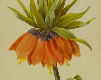 Red Crown Imperial Fritillaria Imperialis Wild Flower Vintage Lithograph Poster Print Redoute Botanical Lithograph To Frame 8