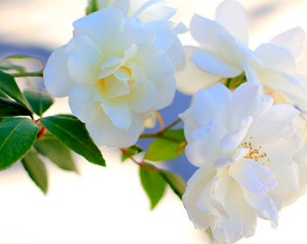 White Roses - Flower Photography -  Photo Print - Size 8x10, 5x7, or 4x6