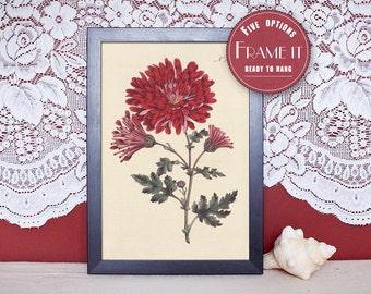 "Vintage illustration of Soft- Indian Chrysanthemum - framed fine art print, flower art, home decor 8""x10"" ; 11""x14"", FREE SHIPPING - 121"