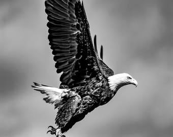 Black And White Bald Eagle.