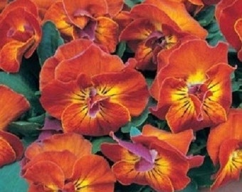 30+ Viola Angel Amber Kiss / Shade Loving / Perennial Flower Seeds