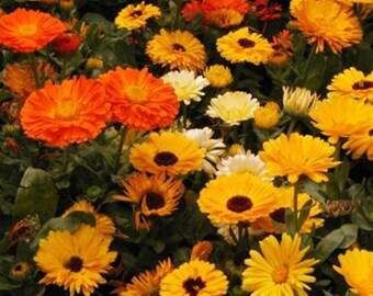 Calendula Medicinal Heirloom Herb Seeds Pot Marigold Edible Flower Non-GMO Naturally Grown Open Pollinated Gardening