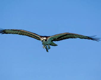 Osprey bringing home super