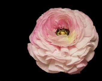 Pink Ranunculus 4