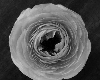 Bloom Handmade Studio Note Cards: Ranunculus in Black and White