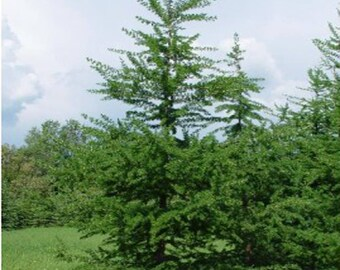 100 American Larch Tree Seeds, Larix Laricina