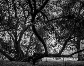 Black and White Photography - Tree Print - Fulham Palace, London - Nature Photography